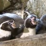 【英国】ペンギンのホモカップル、育児放棄した隣の夫婦から卵あずかり、ひな誕生