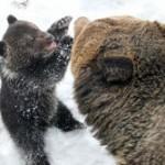 【娘可愛い】 子育てをするオスのクマ