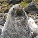 オットセイがペンギンと交尾する現象がたびたび目撃される…理由は不明