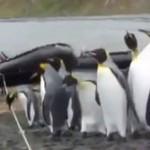 【動画】ペンギン「クソッ 俺たちの天敵 ロープだ・・・」