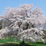 ソメイヨシノがピンチ! 韓国が「韓国桜にしろ!」と提案→アメリカが「東洋桜でどうだ」と折衝案