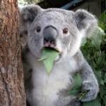コアラ、増え過ぎで再び「間引き」か 保護団体「残酷」と反発―オーストラリア