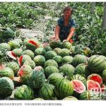 【画像】3500個のスイカ、何者かに一晩で割られる…中国