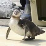 脱走ペンギン「ただいま!」
