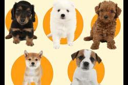 日本の人気犬種ランキング発表! 気になる1位は・・・