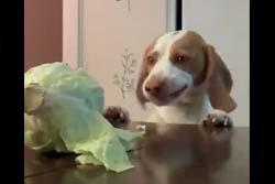 テーブルの上のキャベツをこっそりつまみ食いする犬