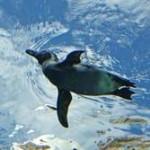 【動画】「脱走ペンギン」が東京湾に