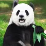 【中国】「パンダ肉」は刺身で食べる ササしか食べないので獣臭がなくさっぱりした味