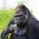 """【画像】""""イケメンすぎるゴリラ""""東山動植物園の「シャバーニ」、ルックスだけじゃなく性格もイケてる"""