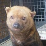 京都市動物園、準絶滅危惧種「ヤブイヌ」を公開