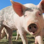 米国科学者「ブタは高い知能を持っている」…動物権利団体「食肉用動物としての扱いを再考する必要がある」