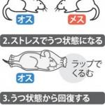 うつ状態のオスのマウス、メスと過ごした楽しい記憶を人工的な刺激で思い出し、うつ状態から回復