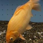 """「ピラルクのエサ」から""""潜伏""""7年、飼育員たちが「奇跡」と驚く巨大金魚"""