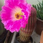 【画像】ワイのサボテン、なんか凄いのを咲かせる