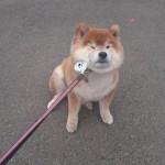 柴犬とかいう地雷犬wwwww