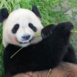 パンダが竹ばかり食べているのに生息できている理由が判明