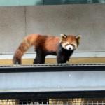 【画像】レッサーパンダ、柵登って脱走騒ぎ 旭山動物園