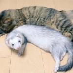 【画像】6匹のフェレットが野良猫を「養子」に?
