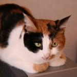 ネコは毛色で選ぶべき?「三毛猫が最も攻撃的」と米・大学研究チーム