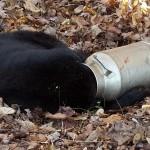 【画像】ミルク缶から頭が抜けなくなったクマ、米レスキュー隊が無事救出