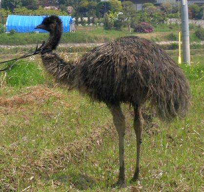 【群馬】大型の鳥「エミュー」が目撃される 捕獲試みるも逃走、山林に姿消す