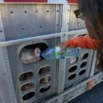 【悲報】トラックで運ばれるブタ共に水をあげた女性が逮捕されてブタ箱逝きに