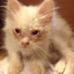 【画像】ガリガリに痩せた捨て猫を保護→モフモフ猫に成長