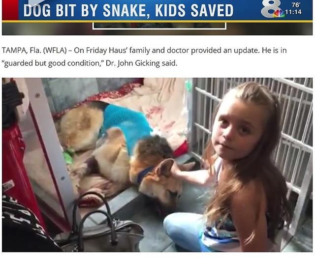 忠犬、毒ヘビに噛まれながら7歳女児守る