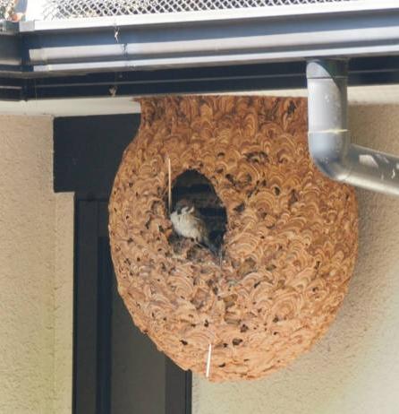 【画像】スズメ、スズメバチの巣をリフォームして住み着く