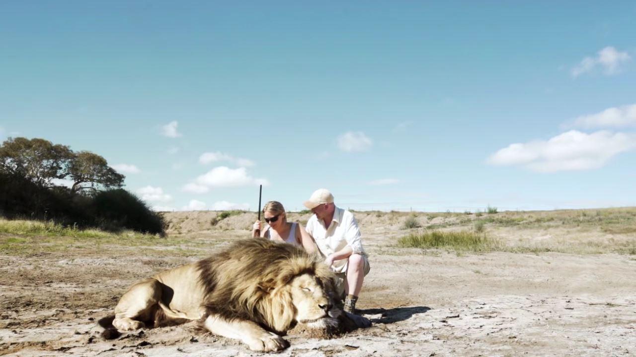 【動画】ハンターがライオンを射殺し記念撮影→別のライオンに襲われる
