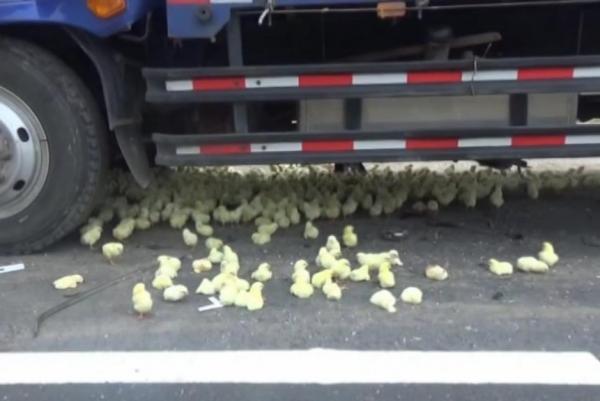 【悲報】ひよこを積んだトラックが事故り、道路がひよこだらけになる