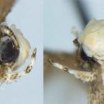 【画像】新種のガ 「ドナルドトランピ」と命名、フサフサな「金髪」にちなみ 米国とメキシコに生息