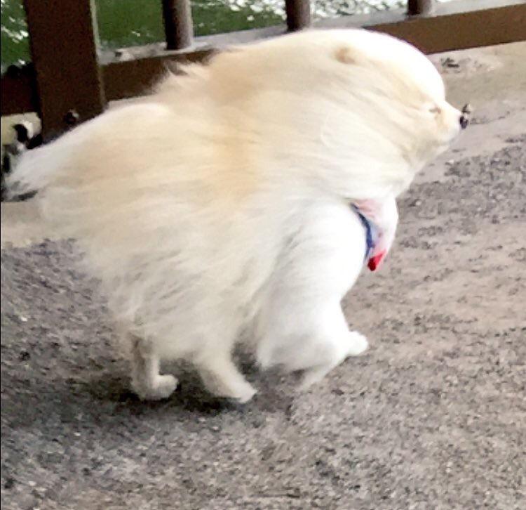 【画像】こんな風強い日に散歩行く犬wwwww