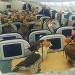 サウジアラビアの王子、飛行機のチケットを80席分購入し80羽のハヤブサを乗せて旅行する