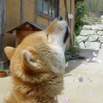 【訃報】鉄腕DASH 福島DASH村の北登、死ぬ 16歳5か月の大往生