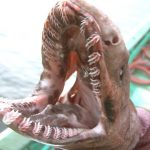 TOKIO、珍しい古代ザメ「ラブカ」をを生きたまま捕獲