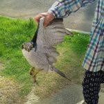 「祖母が素手で猛禽類つかまえたw」パシャ