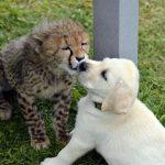 【朗報】イヌ、ヒョウに社会性を与える