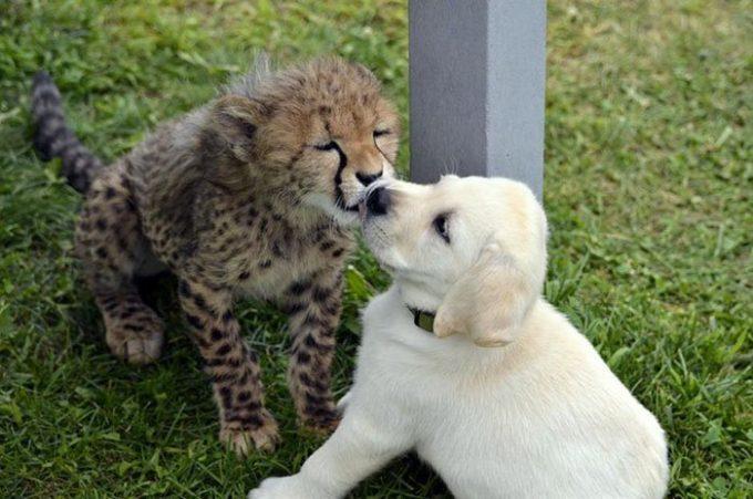 【画像】イッヌ、ヒョウに社会性を与える