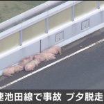 【画像】高速道路で逃げたブタ、疲れて寝る