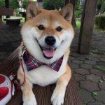 【画像】柴犬「嫌ンゴ帰らないンゴ」