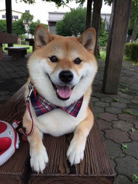 【画像】柴犬「嫌ンゴ帰らないンゴ!」