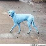 【速報】青い犬がインドで見つかる
