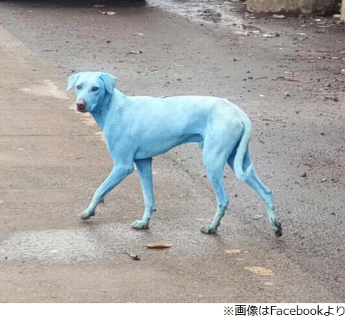 【画像】青い犬がインドで見つかる