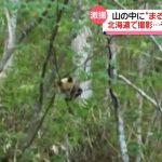 【画像】函館で野生のパンダ発見か