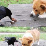 カラスが頭良すぎて他の動物にエサをあげてる事が判明wwwwww