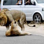 「なんか渋滞してるな…」→ライオンが路上SEX メスライオン、衆人環視のなか絶頂失神…パリ