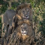 【画像】ホモのライオンwwwww