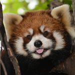 【悲報】上野動物園のレッサーパンダ、急死する