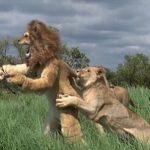 【画像】狩野英孝、ライオンに噛まれる